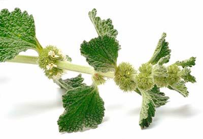 ANDORNKRAUT Marrubii herba