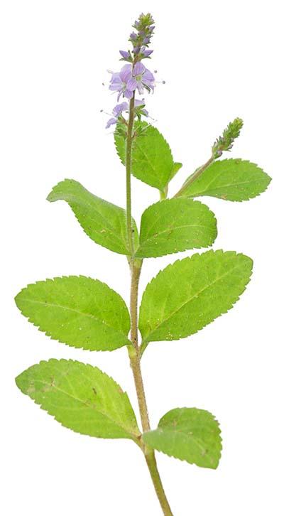 EHRENPREISKRAUT Veronicae herba