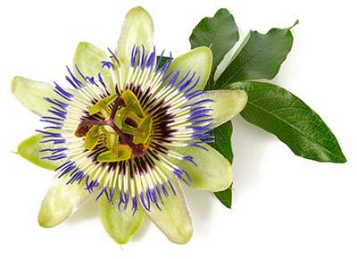 PASSIONSBLUMENKRAUT Passiflora incaranta