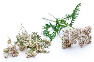 SCHAFGARBENBLÜTEN Achillea millefolium