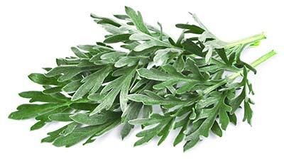 WERMUTKRAUT Artemisia absinthium